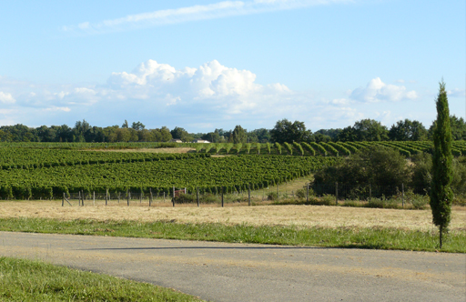 Vineyard With Blue Sky