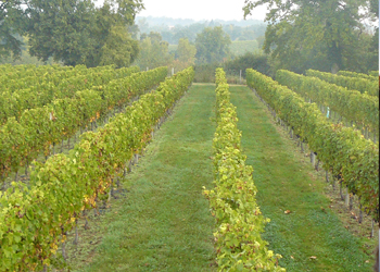 Chateau La Grange Clinet Vineyard